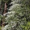 Yosemite National Park California<br /> Dogwoods near Ahwahnee