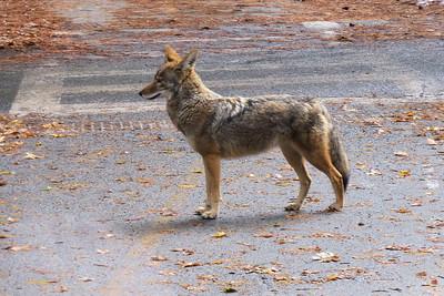 Coyote in Yosemite Village Nov 2015