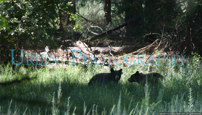 A pair of bear cubs seen the the Merced River in Yosemite Valley.