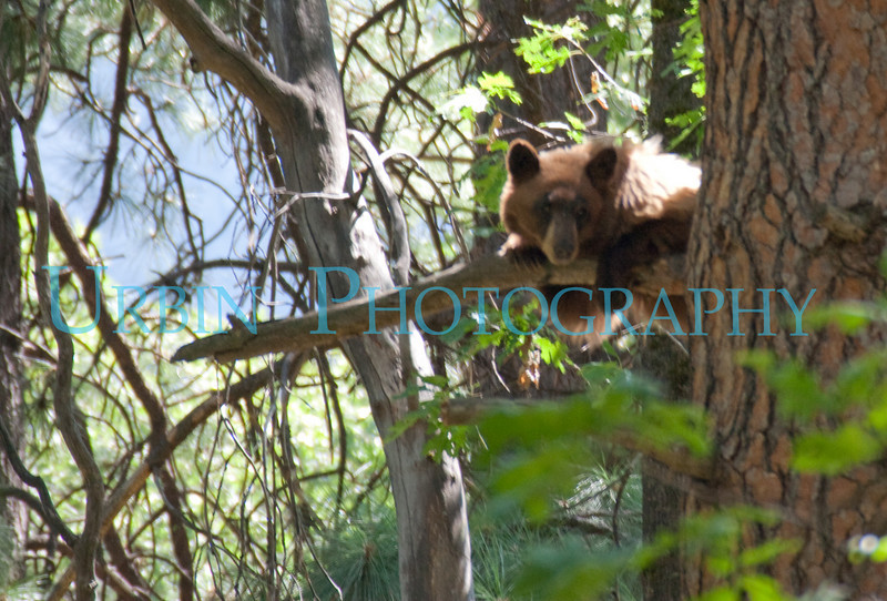 This bear was up in  a tree near Yosemite Village.