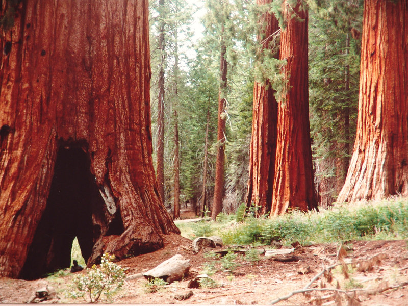 In the Redwoods with Sharon, Yosemite.
