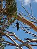 Tioga Pass Crow. Yosemite Ca.