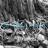 Gnarly tree roots at the edge of the Merced River.