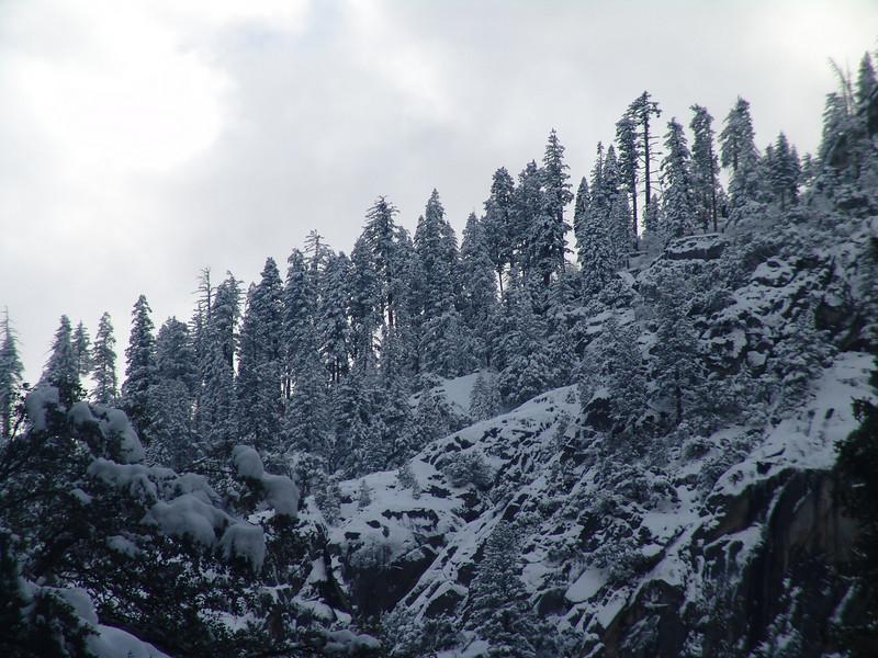 Pine trees by Glacier Piont Yosemite winter 12-08.