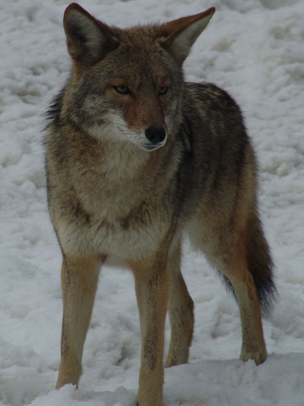 Wild Yosemite Coyote winter