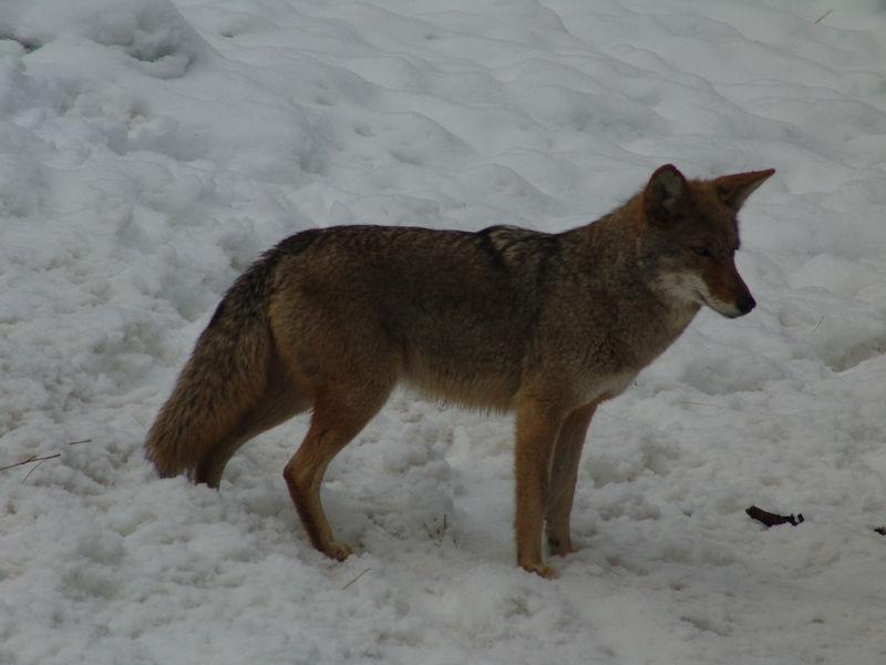 Wild Yosemite Coyote winter