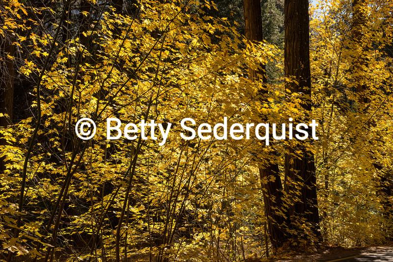 Maple Leaves in Fall, Yosemite