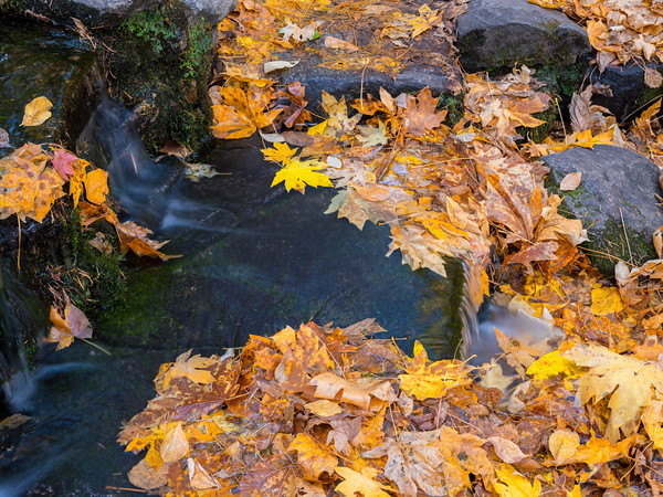 Maple Leaves and Tiny Waterfalls, Fern Springs, Yosemite