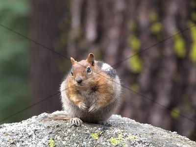 Yosemite chipmunk