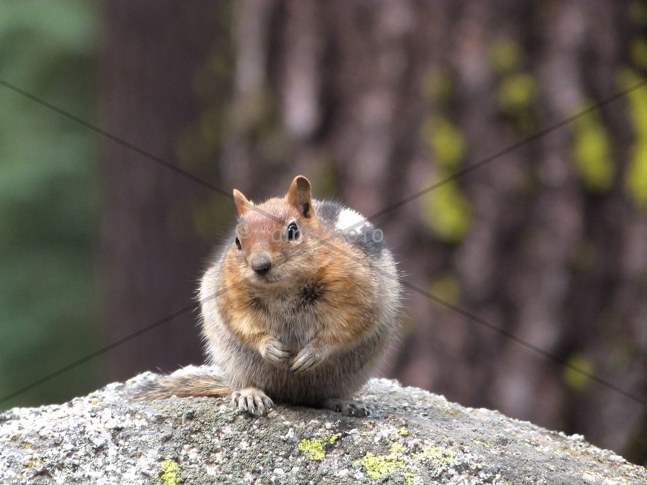 Yosemite chipmunk