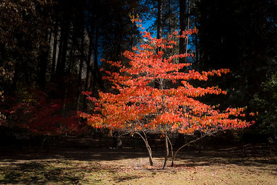 Dogwood Tree in Fall, Ahwahnee Hotel. Yosemite