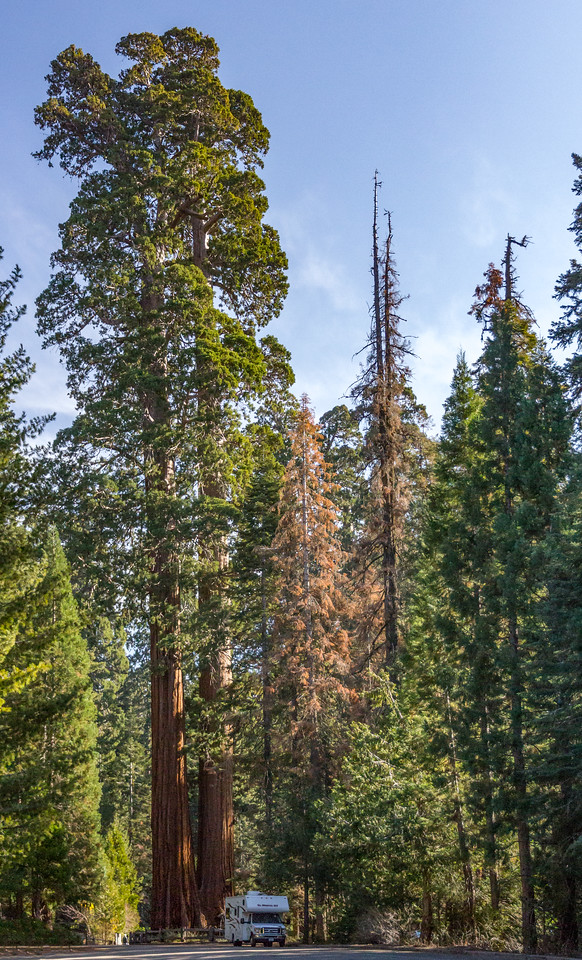 Giant Sequoia Trees at the Sequoia National Forest