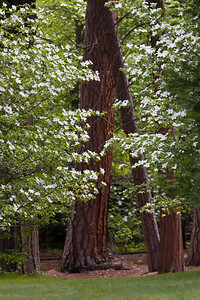 Dogwoods and Pines