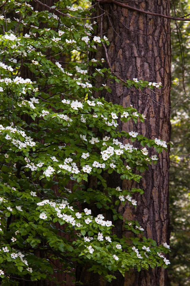 Blooms and Pine