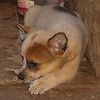 The girl, feisty, small, will be 40 lb or less. $300.