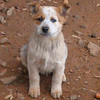 Alpha Male. Will be a great dog for what ever you want him for. Pick of the litter $300.