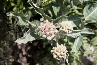 Milkweed Budding