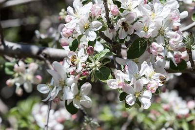 Apple Blossoms and Bees April 5, 2016