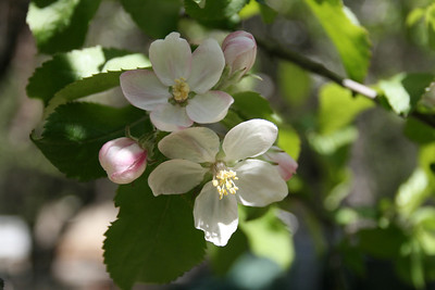 Apple Blossoms at Curry Village where apple trees were planted in the 1800's for tourist food.