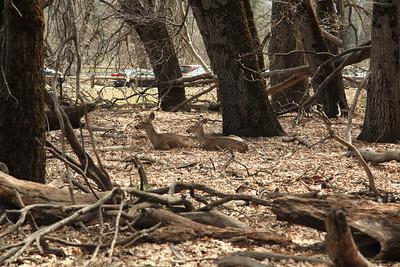 Deer hanging out in Yos. Valley.