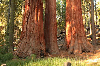 The Three Graces in the Mariposa Grove of Giant Sequoias.