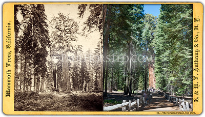 Yosemite National Park, Grizzled (Grizzly) Giant tree.