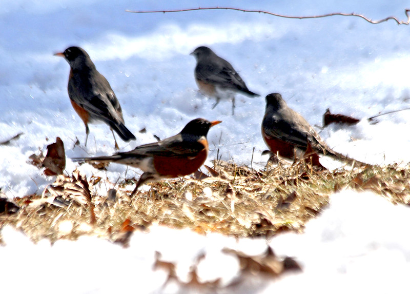 A flock of young robins forage around for food inbetween snow cover on this lawn in Dunstable. Nashoba Valley Voice/David H. Brow