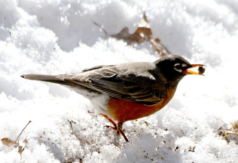 This young robin scores a treat in a yard in Dunstable as they move back into the area. Nashoba Valley Voice/David H. Brow