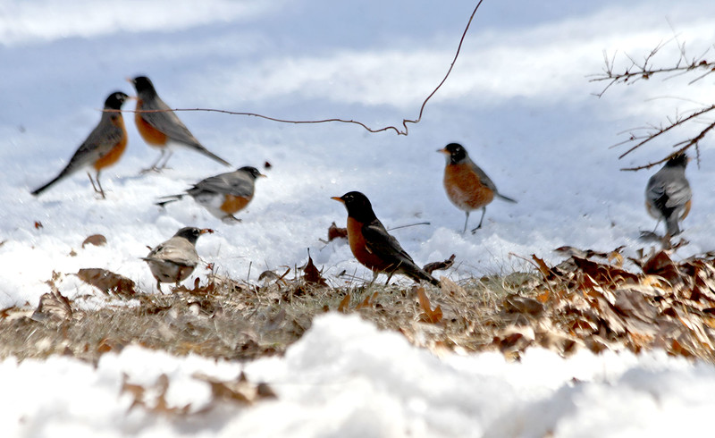 A number of young robins look for food inbetween snow cover on a lawn in Dunstable, as they move back into the area ready for Spring. Nashoba Valley Voice/David H. Brow