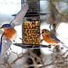 These bluebirds seem to be having a dispute on a feeder in this Dunstable yard, a sure sign of Spring returning. Nashoba Valley Voice/David H. Brow