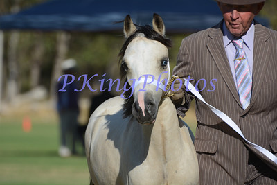 Welsh Mountain Pony Classes