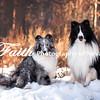 8x12 Blue Sheltie & Black and White Sheltie Dec 2016melissafaithknightfaithphotographynv_3408