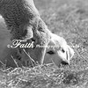 SheepDog©2014MelissaFaithKnight-1338-2