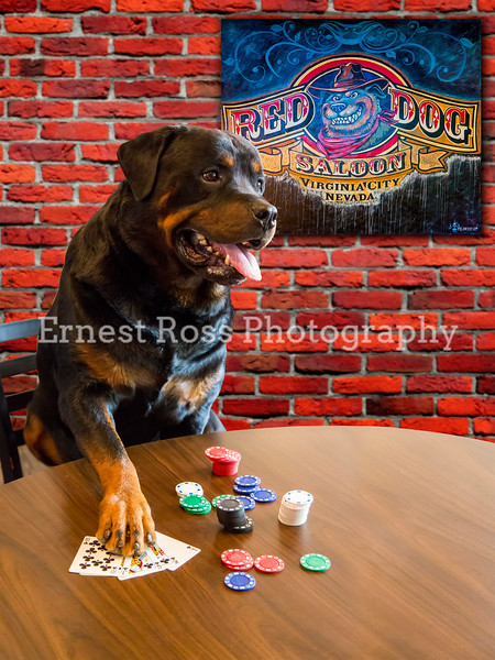 """""""Ice's Royal Flush""""  - Photographer Ernest Ross Photography<br /> This features ICE from the Sierra Rottweiler Owner, Mary Johnson.  Here, Ice is showing off his awesome card skills in the Red Dog Saloon, Virginia City NV"""