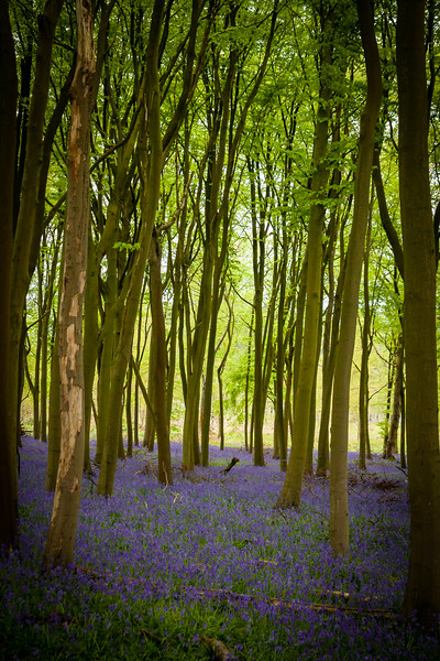 Carters Bluebell Portraits