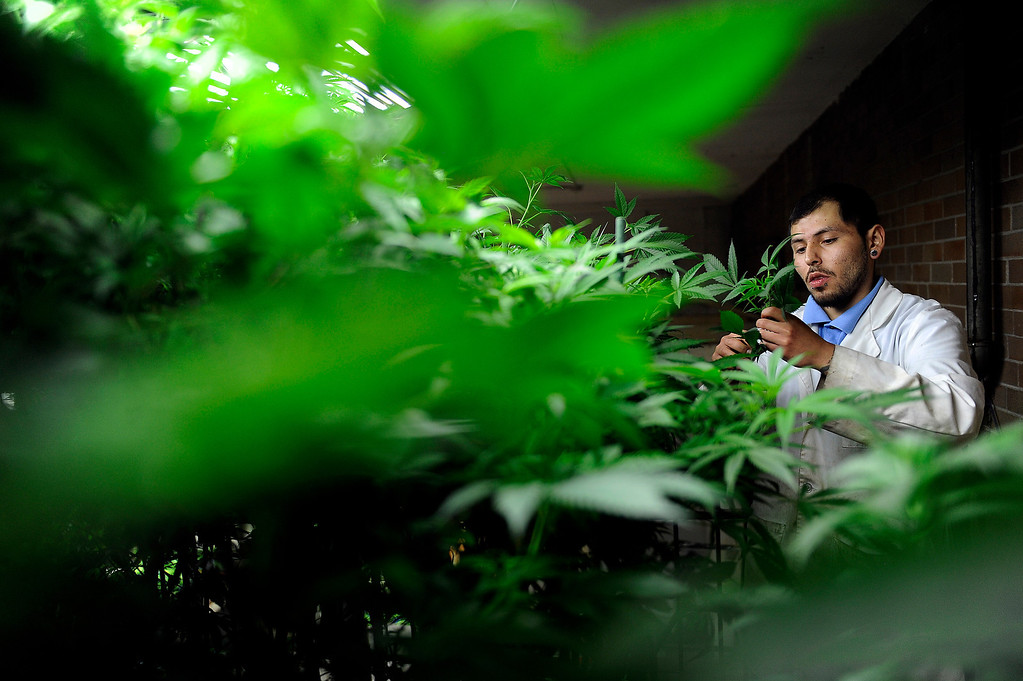 . DENVER, CO - MARCH 27: Master Gardner Matthew Lopez trims off small limbs from a mother plant as he clones a strain of cannabis called Agent Orange at Northern Lights grow facility in Denver, Colorado on March 27, 2014. The retail marijuana business has been booming in Edgewater. No crime or problems have been reported to police by retail marijuana businesses since legal recreational sales began on January 1st.(Photo by Seth McConnell/The Denver Post)