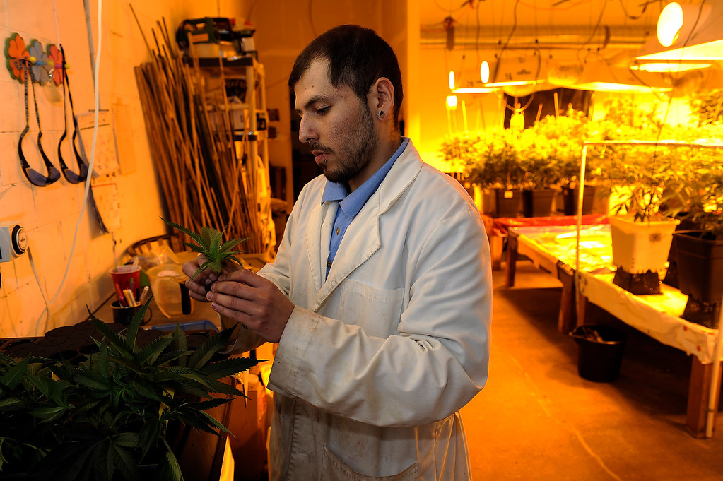. DENVER, CO - MARCH 27: Master Gardner Matthew Lopez clones a strain of cannabis called Qush at Northern Lights grow facility in Denver, Colorado on March 27, 2014. The retail marijuana business has been booming in Edgewater. No crime or problems have been reported to police by retail marijuana businesses since legal recreational sales began on January 1st.(Photo by Seth McConnell/The Denver Post)