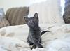Seattle-kittens-2043