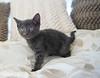 Seattle-kittens-2054