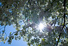 Upward view of a blossoming crabapple  tree in spring
