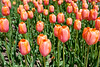Close up of tulips at the Tulip Time Festival in Holland, Michigan