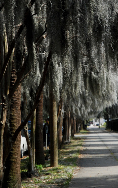 Savannah, Georgia. Historic District, Spanish moss hanging from trees