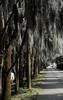 Savannah, Georgia. Historic District, Spanish moss hanging from trees