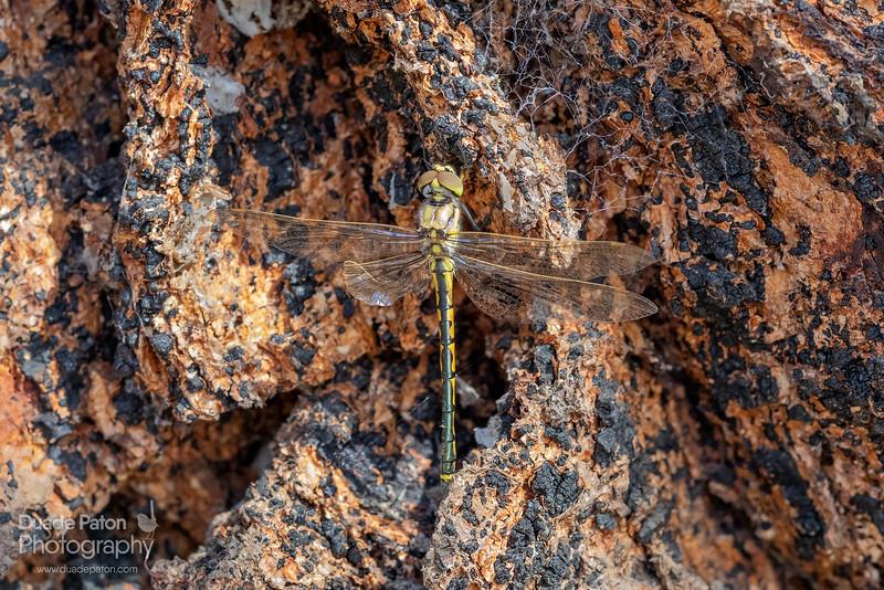 Dragonfly - 500mm