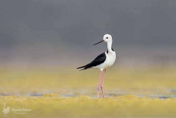 #1 Black-winged Stilt