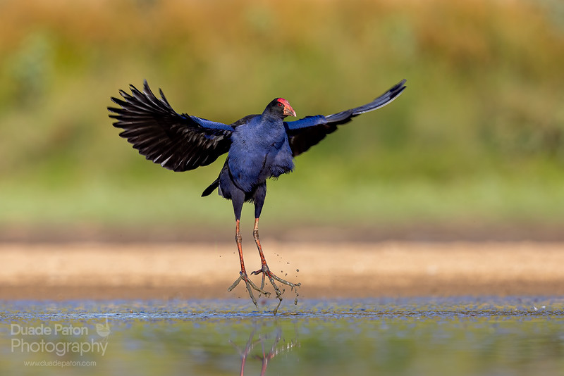 Purple Swamphen