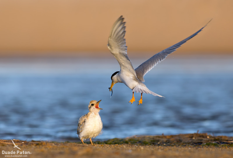 Little Tern Feeding chick