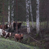 Cows - Kossor - Lehmiä