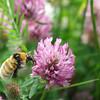 Bumblebee at work - Humla på jobbet - Kimalainen töissä