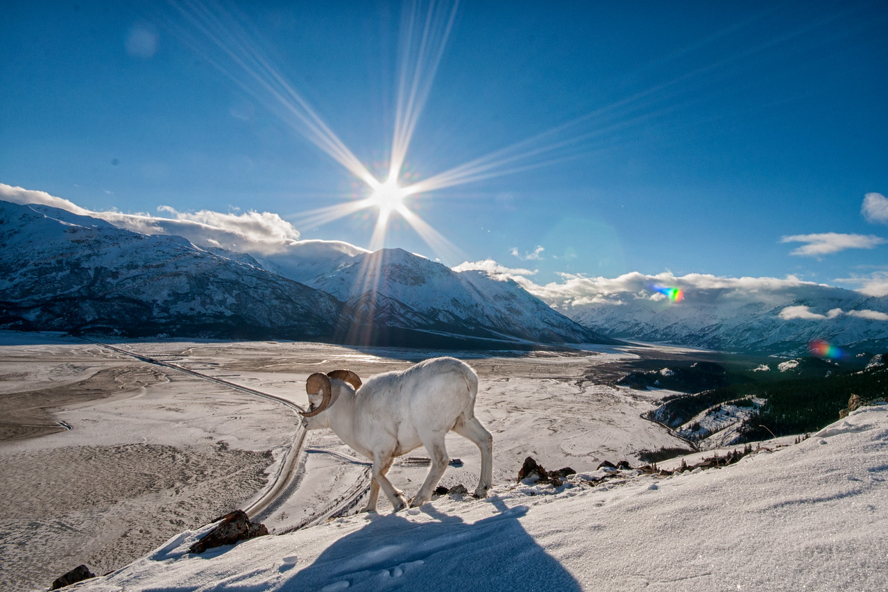 The unique dall sheep on the  snow covered  slopes of Sheep Mountain.  Part of an ongoing story on the winter wildlife found in Kluane National Park in Yukon, Canada. Focus is on the congregation of salmon, grizzly bears, eagles and sheep in winter.